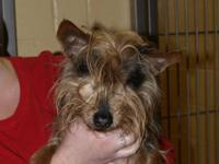 Yorkshire Terrier Yorkie - 5484: Butch - Small - Senior