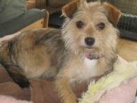 Yorkshire Terrier Yorkie - Callie - Small - Baby -