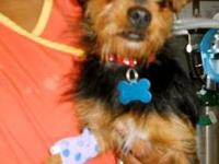 Yorkshire Terrier Yorkie - Cayenne - Small - Young -