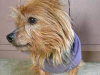 Yorkshire Terrier Yorkie - Charlie-adopted - Small -