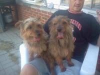 Yorkshire Terrier Yorkie - Cherry - Small - Adult -