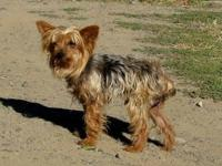 Yorkshire Terrier Yorkie - Chester - Small - Senior -
