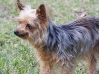 Yorkshire Terrier Yorkie - Cricket - Small - Senior -