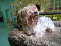 Yorkshire Terrier Yorkie - Fred - Small - Adult - Male