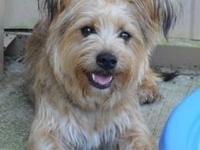 Yorkshire Terrier Yorkie - Happy - Medium - Adult -