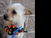 Yorkshire Terrier Yorkie - Harley - Small - Adult -