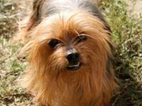 Yorkshire Terrier Yorkie - Jasmine - Small - Adult -