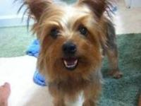 Yorkshire Terrier Yorkie - Jerry - Small - Young - Male