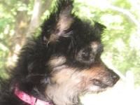 Yorkshire Terrier Yorkie - Joey Gallo - Small - Adult -