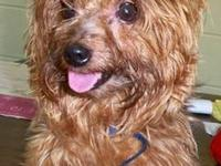 Yorkshire Terrier Yorkie - Joey - Small - Adult - Male