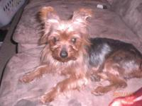 Yorkshire Terrier Yorkie - Little Bear - Small - Adult