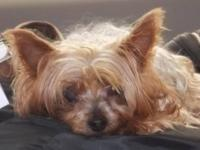 Yorkshire Terrier Yorkie - Lolita - Small - Senior -