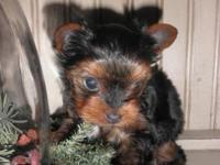 This little purebred Yorkie male simply turned 6 wks