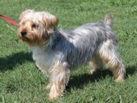 Yorkshire Terrier Yorkie - Max - Small - Adult - Male -