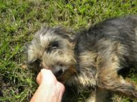 Yorkshire Terrier Yorkie - Melody - Small - Adult -