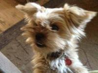 Yorkshire Terrier Yorkie - Miss Vivienne - Small -