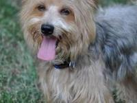 Yorkshire Terrier Yorkie - Monty - Small - Young - Male