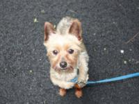 Yorkshire Terrier Yorkie - Myles & Winston - Small -