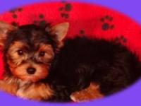 Yorkshire Terrier Yorkie - Odie - Medium - Adult - Male