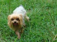 Yorkshire Terrier Yorkie - Prince - Small - Adult -