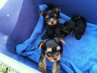 We have four yorkie puppies 3 males for 800 dollars and