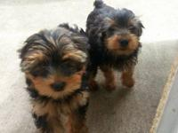 Hey there ... I have 2Yorkshire Terrier (Yorkie)