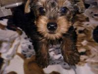 I have beautiful yorkie pups for sale. They have had