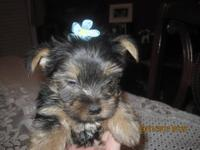 Yorkshire Terrier Yorkie - Rule7736 - Medium - Senior -
