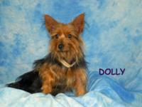 Yorkshire Terrier Yorkie - Sabrina - Small - Young -