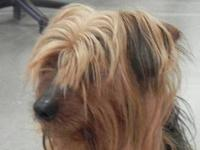 Yorkshire Terrier Yorkie - Sammy - Small - Adult - Male