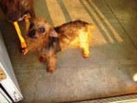 Yorkshire Terrier Yorkie - Sassy - Small - Senior -