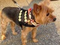 Yorkshire Terrier Yorkie - Scooby - Small And Cute!!! -