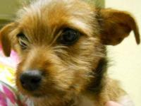 Yorkshire Terrier Yorkie - Sissy~adopted!! - Small -