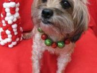 Yorkshire Terrier Yorkie - Sushi - Small - Adult -