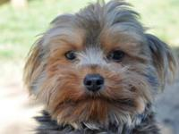 Yorkshire Terrier Yorkie - Taco - Small - Adult - Male