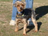 Yorkshire Terrier Yorkie - Tammy - Small - Adult -