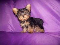 Teacup Male Yorkie, 13 weeks old, his tail is docked