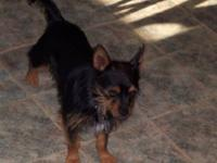 Yorkshire Terrier Yorkie - Tiger - Small - Young - Male