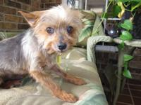 Yorkshire Terrier Yorkie - Tooey - Small - Adult -