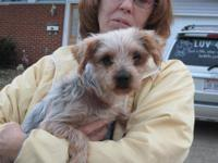 Yorkshire Terrier Yorkie - Travis - Small - Senior -