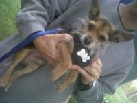 Yorkshire Terrier Yorkie - Trudy - Small - Senior -