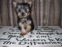 Yorkshire Terrier Yorkie - Velcro - Small - Adult -