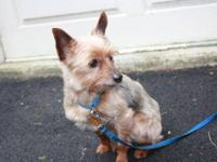 Yorkshire Terrier Yorkie - Winston & Myles - Small -