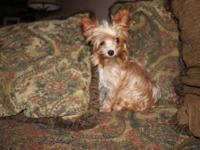 Yorkshire Terrier Yorkie - Yogi - Small - Adult - Male