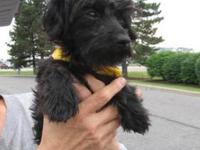 Yorkshire Terrier Yorkie - Zeke - Small - Young - Male
