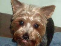 Yorkshire Terrier Yorkie - Zella - Small - Adult -