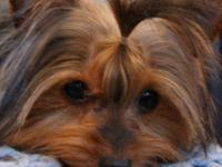 Breed: Yorkshire Terriers