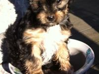 Teacup size Female designer young puppy! Born Nov 27th,