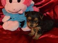 WE HAVE 1 FEMALE AND 1 MALE AKC YORKIE FOR SALE. THEY