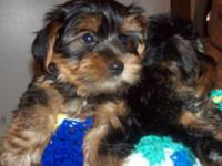 YORKSHIRE TERRIER Male & Female Puppies. These adorable